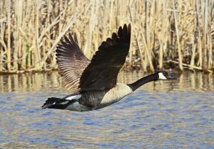 Canadian Goose in Flight